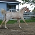 Beautifull dappled palomino roan