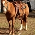 Flashy Red Dun Trail Mare with Chrome