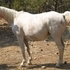 Registered Arabian Broodmare