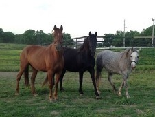 Beautiful Warmbloods Mares