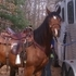 Arabian Gelding for Sale