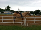 Tennessee Walker for sale