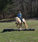 Tennessee Walker for sale in United States of America