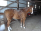 sweet 15 year old QH for sale in United States of America