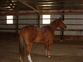sweet 15 year old QH for sale