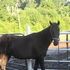 Beautiful Black Mare In Foal