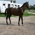 Dutch Harness Horse /Warmblood/Saddlebred colt2012