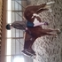 Pinto gelding for sale