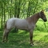 Gorgeous Classic Roan mare.. VIDEO