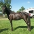 ** WOW!! TOP QUALITY!! TEMPERAMENT....GAIT...AND, LOOKS!  Another Top of the Line Horse!! **