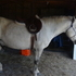 8yo percheron/Halflinger cross gelding 15H silver dapple grey