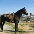 3/4 Andalusian Mare, all around horse