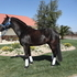 Flashy Black Anadalusian Stallion