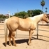 AQHA  Handsome Palomino ( Dream Horse )