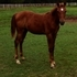 Solid HunterType Sport Horse Yearling Filly