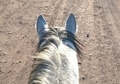 Big Registered Thoroughbred Gelding. Grey, 7 years. 16.3 hh.