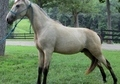 Handsome Buckskin Yearling Gelding