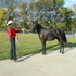 6 year old Rocky Mountain Gelding trained over Obstacles