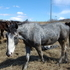 2yr old blue roan overo stud