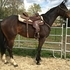 HANDSOME, ATHLETIC GELDING STARTED ON BARRELS