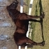 Mini Fresian a rare Dales Pony only 2800 world wide. Looks like a Fresian but smaller