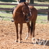 *REDUCED* AQHA Gelding: Jump, Trail Ride, Team Pen, Parades.