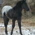 80% FPD black and white filly