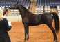 AT STUD BLACK SUPREME HALTER CHAMPION; SEMEN AVAILABLE FOR EXPORT - INTRODUCTORY PRICE for sale