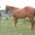 big gentle gelding 20 AQHA POINTS