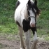 Gypsy Vanner 3/4 Yearling Filly