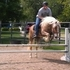 14 y/o Haflinger Gelding For Sale