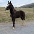Multi WGC bloodline Reg Undertaker racking colt