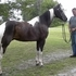 Triple Registered, Smooth Gaited, Flashy Black Tobiano Saddle Gelding