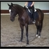 Wonderful Hunter Jumper/Dressage Quater Horse For Sale