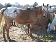 SOLD - ApHC - Broodmare in foal by TOBYS LAST NUGGET