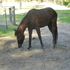 3 yr old Saddlebred/Tennessee Walker Filly
