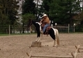 5 year old flashy foxtrotter mare