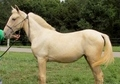 TWHBEA Palomino Filly