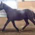 DAXL - 2013 Black Warmblood Gelding