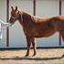 AQHA, DNA tested, Athletic mare