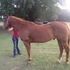 Very broke ex-ranch gelding for sale!!!!