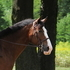Wonderful Draft Cross Trail Horse & Beginning Hunter
