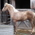 Sweet Golden/Chocolate Palomino Morgan Gelding