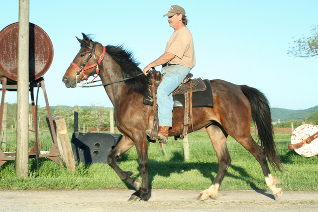 Beautiful Bay Kentucky Mountain Mare