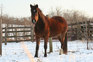 Beautiful Bay Kentucky Mountain Mare for sale