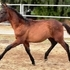 SunShine Andalusian big bay filly out of Casuco by Indiano mare by popular black stallion
