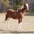 PRICE REDUCED!!!!  2014 APHA Chesnut Tobiano Colt with Packed Pedigree!!
