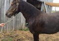 Beginner Safe KY Mountain Gelding
