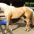 Palomino Colt for Sale