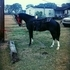 5 year old tennessee walking horse pusher blood line